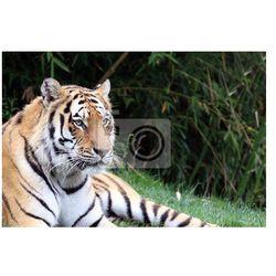 Obraz Tygrys