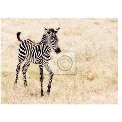 Fototapeta Adorable dziecko walking Zebra .