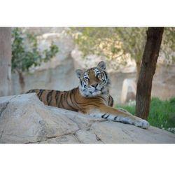 Fototapeta tygrys 430