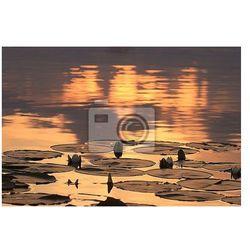 Fototapeta lilie wodne słońca