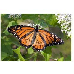 Obraz Monarch Butterfly