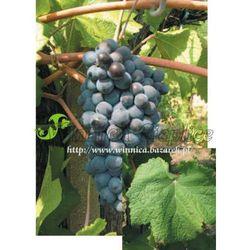 Pinot Noir sadzonka winorośli promocja!