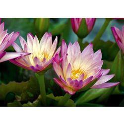 obraz lilie wodne P47
