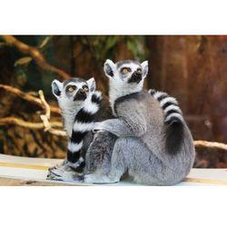 Fototapeta lemury 404