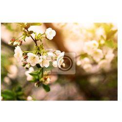 Fototapeta kwitnąca śliwa brunch