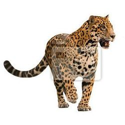 Fototapeta jaguar ( panthera onca ) isolated