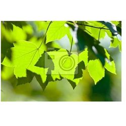Fototapeta podświetlane zielone liście