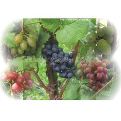 Cardinal N sadzonka winorośli