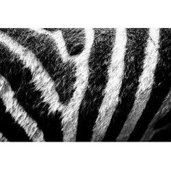 Fototapeta zebra 424