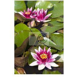 Fototapeta Piękna lilia wodna
